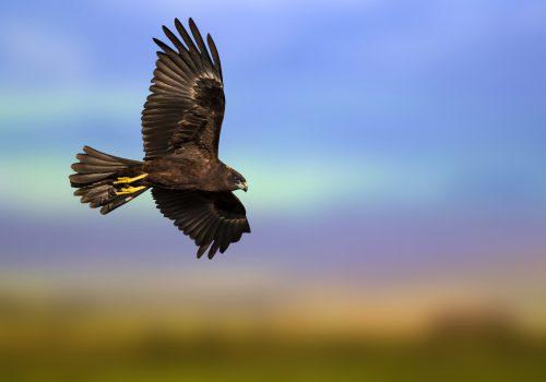 Original Falcon
